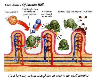 Friendly bacteria SI